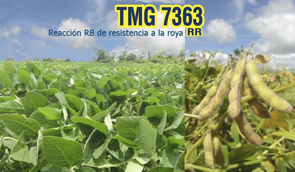 La nueva variedad TMG 7363, posee una tecnología innovadora de resistencia natural a la roya de la soya, y al obtener una rápida cosecha, se multiplican los beneficios para los productores mediante la combinación de economía y productividad